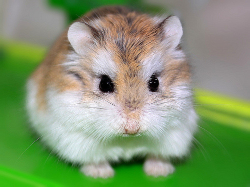 SPECIES - the correct hamster care